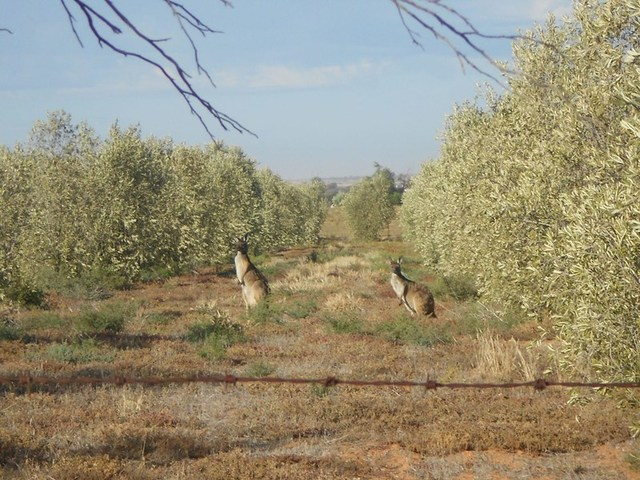 Lot 240 Olive Grove Road, Napperby SA 5540